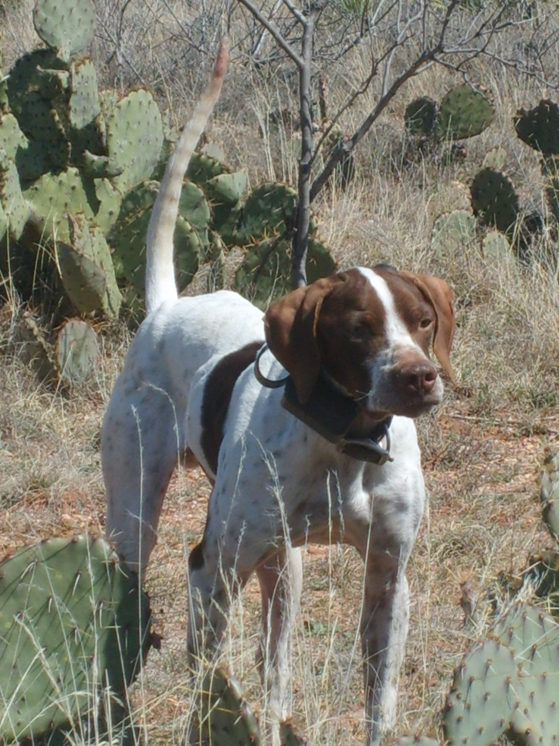 English Pointer Puppies Started Dogs Southern Hills Kennel Bird