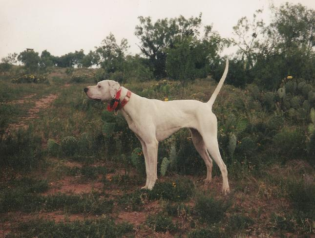 Texas Gun Dogs Southern Hills Kennel Bird Dog University Abilene